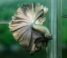 """Rosetail Betta: Rosetail and Feathertail is an extreme Halfmoon with excessive branching of the rays giving the tail a """"ruffled"""" edge. It has so much finnage that it overlaps like a rose. These fish are hard to breed on as the excessive mutations that cause the branching can lead to other mutations such as poor scales and short ventral fins. Can be seen in longfin and shortfin. http://betta-plakat.blogspot.com/2011_06_01_archive.html"""