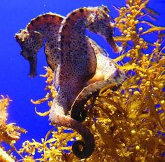Seahorses...I am going to find a seahorse one day diving