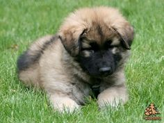 Look at that fluff ball! O my freaking gosh i just love shiloh shepherds!