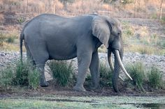 South Africa, Wildlife, Elephant, Animals, Animales, Animaux, Animal, Elephants, Animais