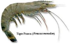 Shrimp Farming: SHRIMP SPECIES AND THEIR SUITABILITY