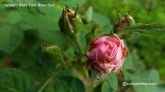 Flowers from My Cam: 12. Paneer Rose Bud / Baby Pink Rose Bud ~ Kurinji Kathambam