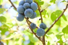 Sloe Gin - Don't waste the gin sodden sloes - remove the stones, chop and mix with dark melted chocolate for some unusual after dinner sweetmeats