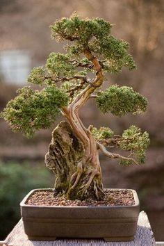 Bonsai                                                                                                                                                                                 More #luxurygarden