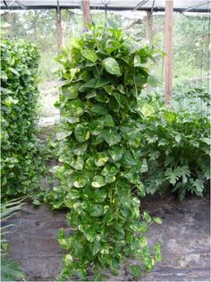 Home Office With Pothos Climbing Plants Eye Catching Indoor