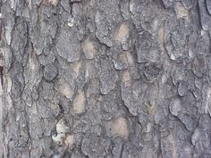 lodgepole pine bark - Google Search