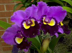 Brassolaeliocattleya Chance the Chance
