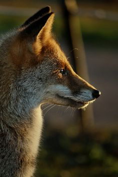 Red Fox by Giorgio Rocca on 500px