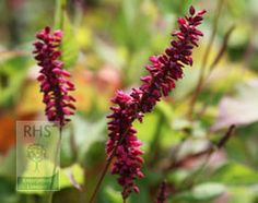 Persicaria amplexicaulis 'Firetail', red bistort. Long, slender spikes clustered with tiny, fluffy, crimson-red flowers rise from mid summer to early autumn above semi-evergreen, lance-shaped, mid-green leaves. This clump-forming, vigorous perennial has handsome foliage and quickly makes dense groundcover in sun or partial shade. Plant it in bold swathes to add vertical interest in the border right through till mid autumn and give it plenty of space.