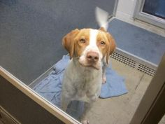 CJ Lab Brittany mix in Fort Dodge