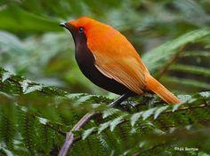 Crested Satinbird, Cnemophilus m. sanguineus: W Highlands Province, PNG - (c) Nik Borrow