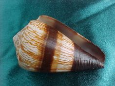 Conus miles Linneaus 1758 74 mm...Philippines (Image Schooner) Distribution: Indo-Pacific Maximum size: 116.7 mm Seashell Identification, Shell Game, Shell Shock, Shell Collection, Snail Shell, Underwater Creatures, Shell Beach, Marine Life, Sea Creatures