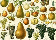 1897 Fruits, Grand Format, Planche Originale Larousse illustré, Illustration Botanique 115 ans d'âge, Décor de cuisine de la boutique sofrenchvintage sur Etsy