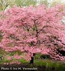 Dogwood Tree - pink variety