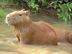 Capybara,i have wanted 1 sense they were in the news a couple of years ago...IT LOOKS LIKE A GIANT HAMPSTER!