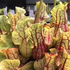 Sarracenia purpurea ssp. venosa Tattnall GA - Growing well and showing some…