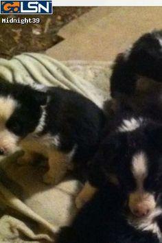 Border Collies on Pinterest | Border Collie Puppies ...