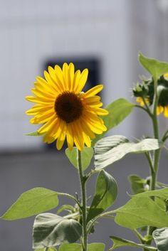 something about sunflowers...