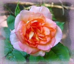 Arielle Dombasle . Rosier remontant à floraison précoce vermillon hollandais mêlé de jaune citron.