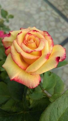 Beautiful Rose Flowers, Exotic Flowers, Amazing Flowers, Pretty Flowers, Lavender Roses, Yellow Roses, Pink Roses, Most Popular Flowers, Rosa Rose