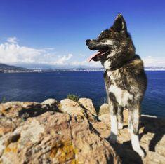 Little hike on the French riviera  #puppy #sea #riviera #naokoakitainu #dog #paws #dogsthathike #chien #pawsfriend #akitainu #akita #akitainudogs #akitainudog #akitainucute #japaneseakitainu #akitadogs #akitasofinstagram #akitapuppy #akitaworld #akitalovers #akitalife #akitapics  #akita_inu #animal #animals #dogs #cute #doglover #akitacutepuppy #dog_features Akita Puppies, Cute Puppies, Japanese Akita, Naoko, French Riviera, Dog Paws, Inu, Dog Lovers, Husky