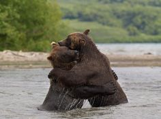 Kuril Lake in Kamchatka is the most bearish in Russia. Apparently, in the world. Aerial surveys in 2012 showed that around the lake live more than a thousand bears!