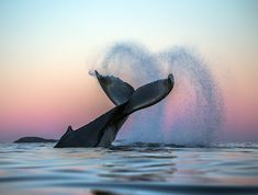 Stunning whale photography // sunset over the ocean
