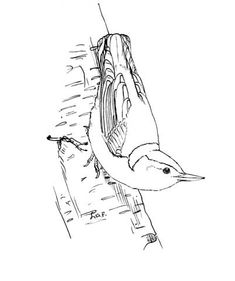 White Breasted Nuthatch Coloring Page From Category Select 24124 Printable Crafts Of Cartoons