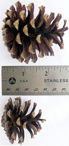 Lodgepole Pine Cones (PineCones)