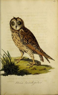 https://flic.kr/p/BW1bN5 | n198_w1150 | British ornithology :. Norwich :Bacon,1815-22.. biodiversitylibrary.org/page/48425307