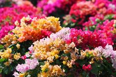 Bougainvillea come in so many different shapes and sizes! Learn about #bougainvillea101 plant care on our website! https://www.bgi-usa.com/bougainvillea-101/