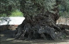 Ancient olive tree in Greece. 2500 to 5000 years old. Olive Tree, Crete, Tree Of Life, Places To See, Nature, Past, To Go, In This Moment, Pictures