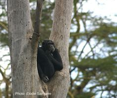 Did you know: Chimpanzees are one of the few species that use tools, like using sticks to collect ants!