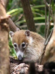 Xel-Há Park, Quintana Roo, Mexico — by Jason Davidson. Coatimundi's were also abundant in the park.