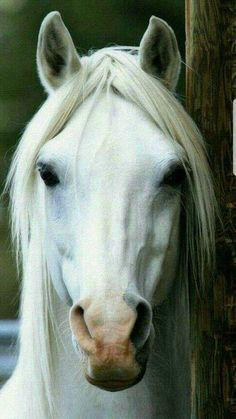I'm not drawn to white horses But this guy has the most mesmerising eyes. - Katze -Usually I'm not drawn to white horses But this guy has the most mesmerising eyes. Most Beautiful Horses, All The Pretty Horses, Cute Horses, Horse Love, Horse Photos, Horse Pictures, Beautiful Creatures, Animals Beautiful, Types Of Horses