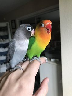 Parrot Love Story Meet Kiwi And His Goth Wife Siouxsie - Pets Spirit Exotic Birds, Colorful Birds, Exotic Pets, Animals And Pets, Baby Animals, Funny Animals, Cute Animals, Love Birds Pet, Cute Birds