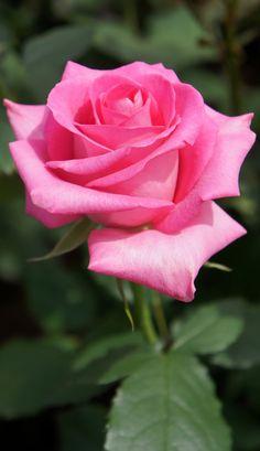 L'eau de rose hydrate et apaise les peaux sensibles. #rose