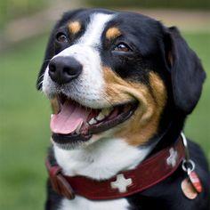 Entlebucher Mountain Dog Breed Information, Pictures, Characteristics & Facts - Dogtime Mountain Dog Breeds, Swiss Mountain Dogs, Funny Dog Videos, Funny Dogs, Cute Dogs, Entlebucher Mountain Dog, Laughing Dog, Dog Breeds Pictures, Mastiff Breeds