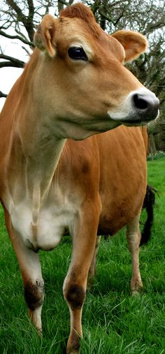 "The Jersey breed of dairy cow originates from the Island of Jersey and it is quite distinct from all other breeds of livestock. Renowned for it's beauty, ease of management and natural ability to produce rich creamy milk, the "" Jersey""  is a product of the Island, it's soil, it's climate, it's people and their history."