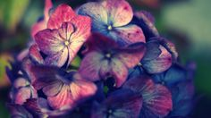 poda de la hortensia para tener flor