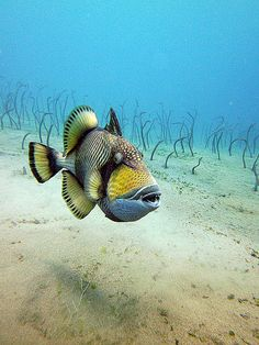 Titan trigger fish with many garden eels  in the background..
