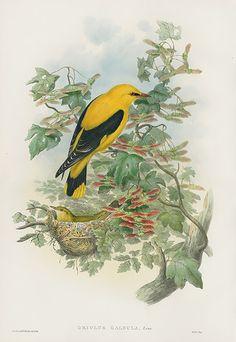 Oriolus Galbula Golden Oriole USD $795 Antique Natural History Prints of Gould Birds 1862