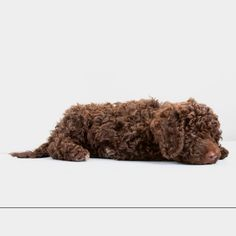 The legend that is Yogi the Spanish Water Dog.