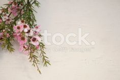 The Manuka flower in bloom in soft focus. Tree Images, Photo Tree, Medicinal Plants, Tea Tree Oil, Image Now, Royalty Free Stock Photos, Bloom, Traditional, Flowers