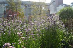 The Lurie Garden in October Pretty Good, How To Look Pretty, Red Streaks, Fountain Grass, Aster, Golden Color, Garden Planning, Garden Plants, Pennisetum Setaceum
