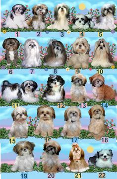 The ShihTzu Sometimes called Chrysanthemum dogs because of the haphazard way their facial hair grows. Cute!