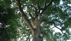 Conheça o jequitibá-rosa 'Patriarca', a árvore mais velha do Brasil