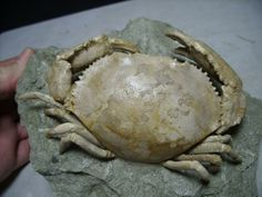 Harpactocarcinus punctulatus | Age: Eocene - 50 million years ago. Rialo formation at Monte Baldo, Italy.