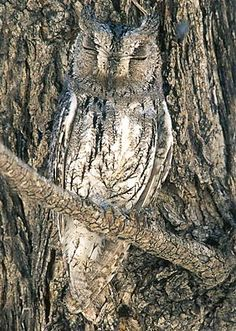 Camouflaged Owl