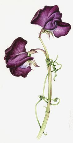 I have to have Sweet Pea for my Sweet P! Painting a Sweet Pea - July 2013 – Lizzie Harper Illustration ¦ Botanical Illustration & Scientific Illustration by Lizzie Harper Sweet Pea Tattoo, Botanical Drawings, Botanical Illustration, Botanical Prints, Motif Floral, Arte Floral, Brust Tattoo, Sweet Pea Flowers, Birth Flowers